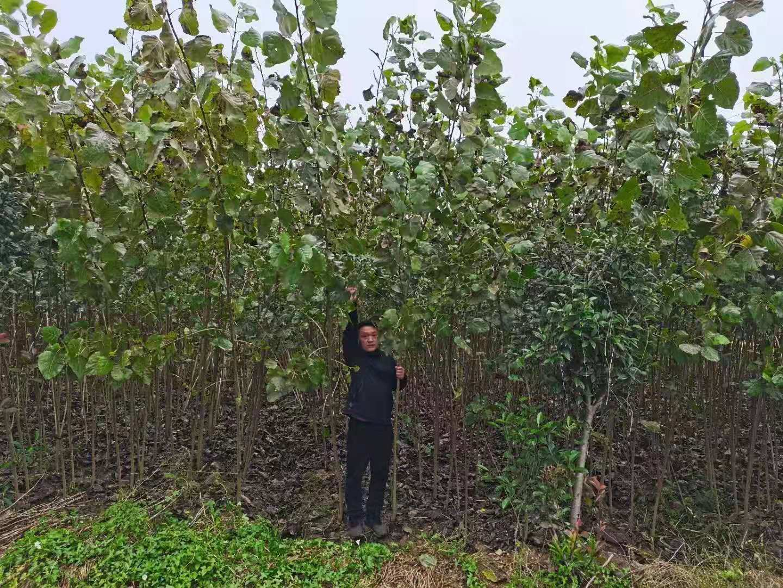 3米以上白杨树