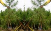 湿地松树苗二年苗