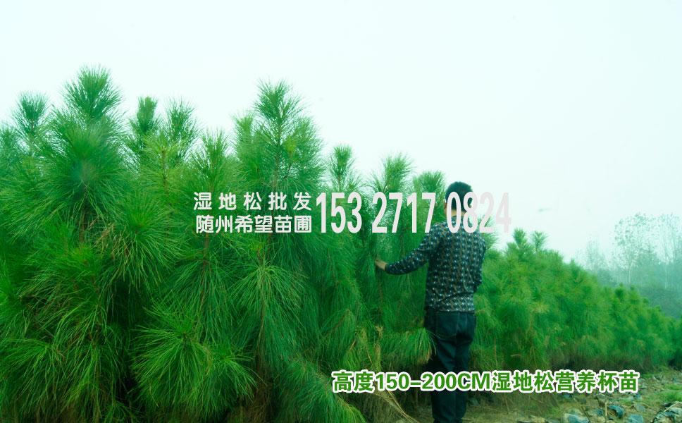 湿地松苗多少钱一颗?