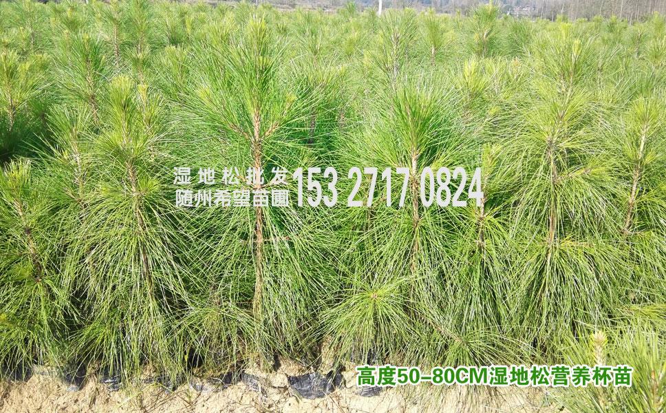 50-80公分高度湿地松树苗,半米高湿地松小苗供应