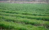 湿地松小苗价格是多少