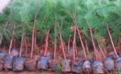 80公分湿地松树苗批发