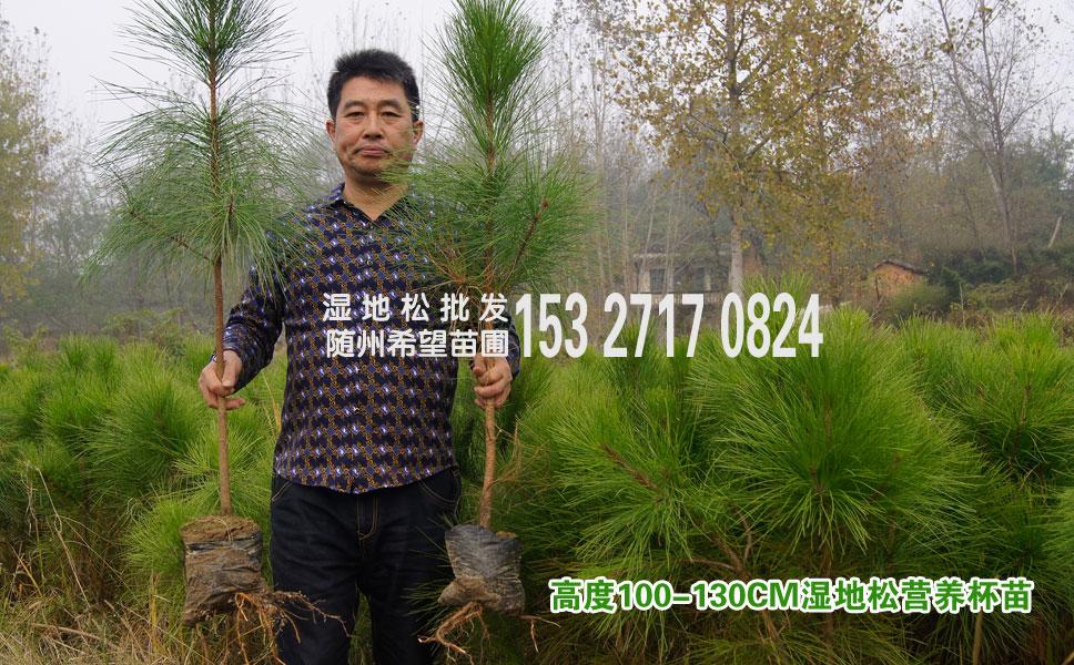 一米高湿地松批发,哪里有湿地松树苗出售?