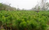 湿地松营养杯苗二年苗