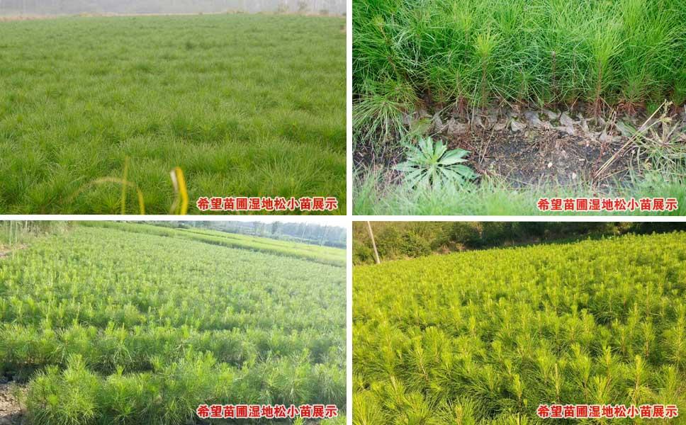 希望苗圃一年生湿地松小苗培育基地现场