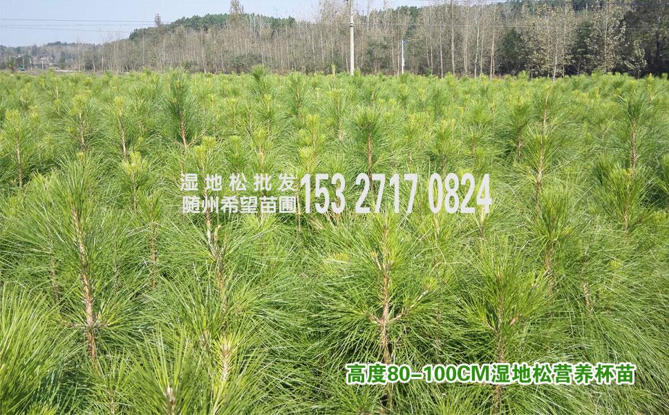 80公分高湿地松小苗批发供应,湿地松的价格是多少?