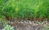 湿地松容器苗成活率是多少