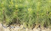 湿地松种植方法