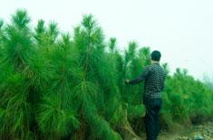 湿地松供应分享五针松怎么整形修剪