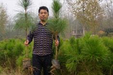 湖北湿地松厂家分享湿地松和马尾松的区别
