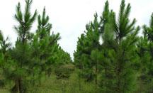 随州湿地松厂家分享湿地松什么时分移栽?湿